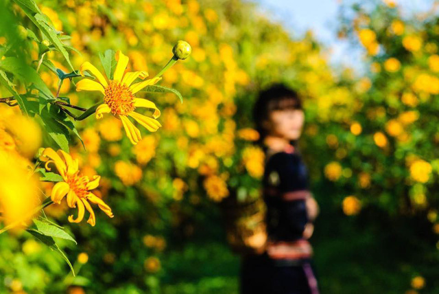 Hoa Dã quỳ trên núi lửa Chư Đăng Ya