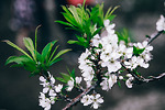 Hoa mận nở trắng trời Tây Bắc