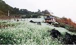 Cuối năm về Mộc Châu ngắm hoa cải nở trắng đồi