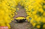 Rộn ràng mùa thu hoạch hoa cúc tiến vua ở thôn Nghĩa Trai