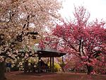 Bỏ túi kinh nghiệm ngắm hoa anh đào ở công viên Shinjuku Gyoen, Tokyo
